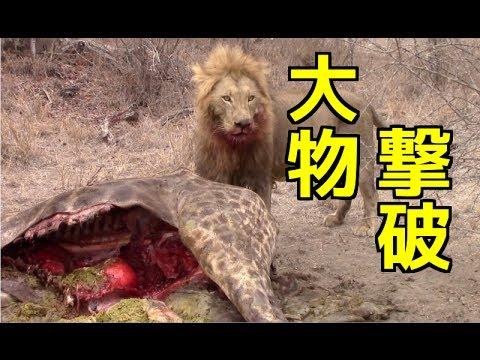 狩_【野生動物の戦い】①ライオンの狩り巨大キリンを捕食!寄っ