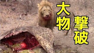 【野生動物の戦い】①ライオンの狩り 巨大キリンを捕食!寄って集って大...