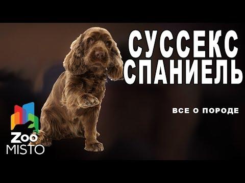 Суссекс-спаниель - Все о породе собаки | Собака породы суссекс-спаниель