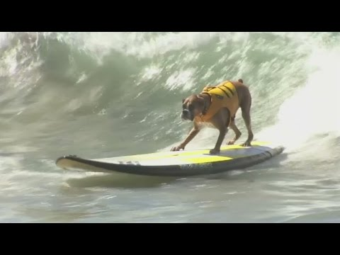 California dogs ride the waves in surf competition