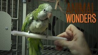 The Truth About Chopsticks the Quaker Parrot