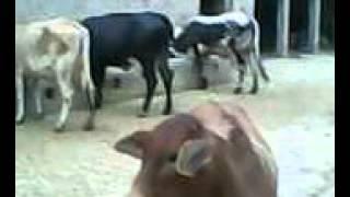Pakistan Dairy Farm