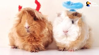 Guinea Pig Sisters Have The Best Hair Ever