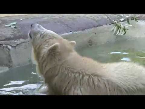Polar bear cub Nora arrives at the Oregon Zoo
