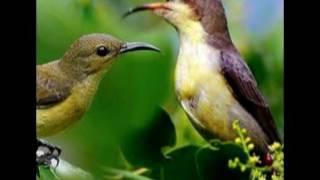 suara kolibri betina birahi memanggil kolibri jantan