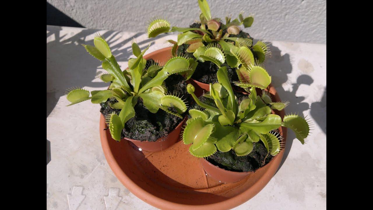 4 regole per prendervi cura delle piante carnivore youtube for Pianta carnivora dionea