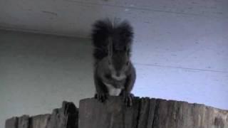 エゾリスの鳴き声いろいろ 白いエゾリス 検索動画 20