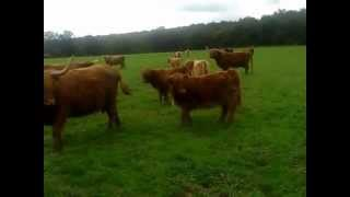 Superbes vaches Highlands