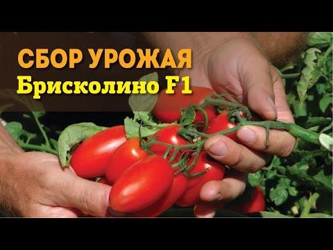 "Сбор урожая ""Брисколино F1"" | выращивание | вирощування | брисколино | семена | профес | поштою | почтой | овощей | томат | овощи"