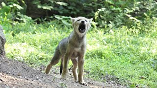 Little Red Wolf Pups Have Mighty Howl
