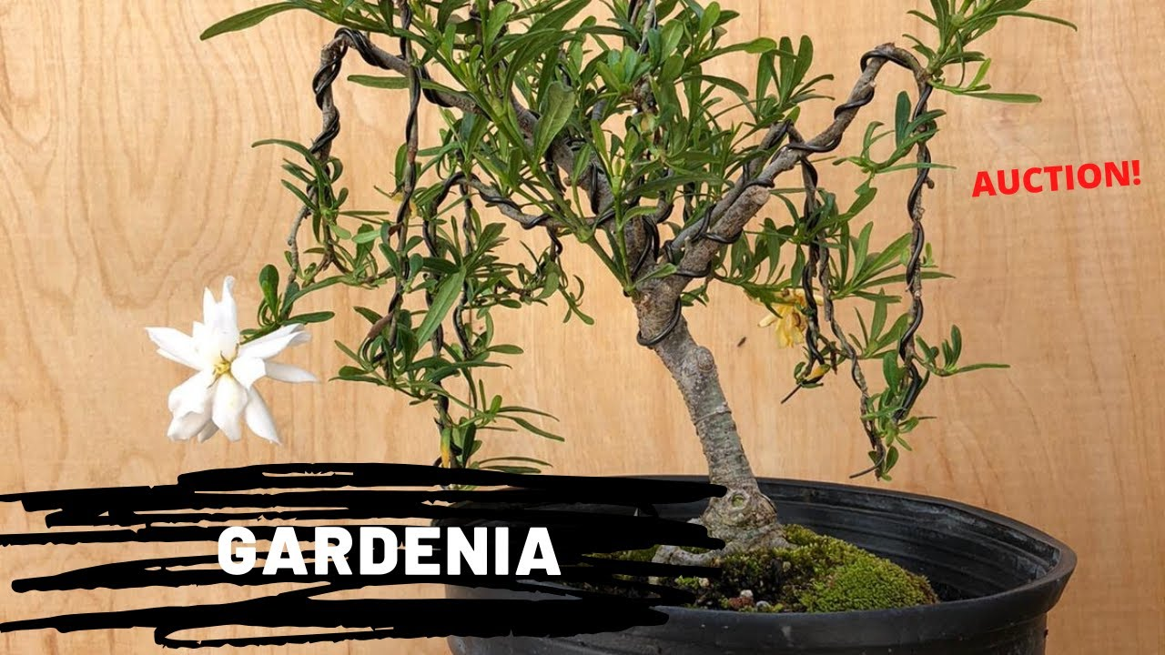 Styling A Dwarf Gardenia At The Bonsai Supply Auction 8 Youtube