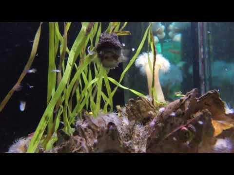 Pacific Spiny Lumpsucker At The Seattle Aquarium