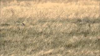 Gopher Hunting In Southern Alberta