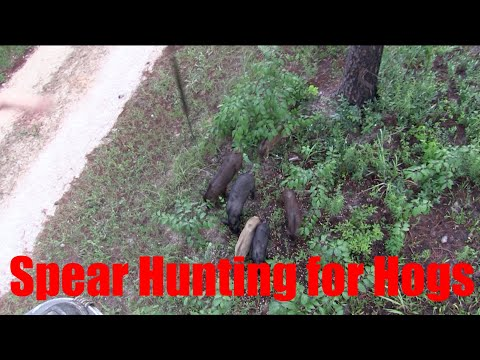 Spear Hunting For Hogs-Miss