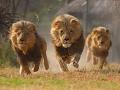 [New] HD - وثائقي باللغه العربيه - معركة الأسد ملك الغابه -عالم الحيوانات المفترسة HD