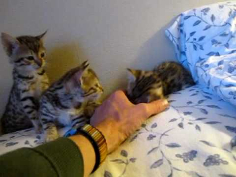 Egyptian Mau kittens - 6 weeks old