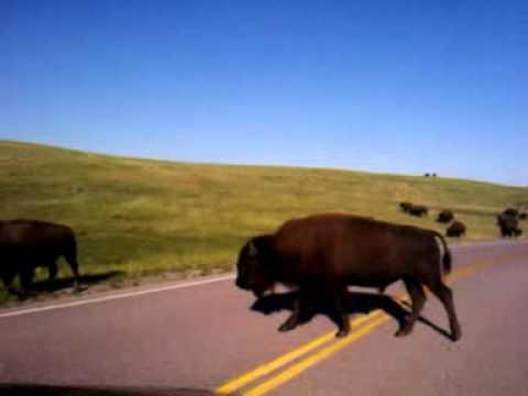 Buffalo road south dakota