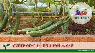СУПЕР ОГУРЦЫ ДЛИНОЙ 25 см!!!