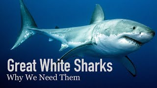 Why our Oceans need Great White Sharks