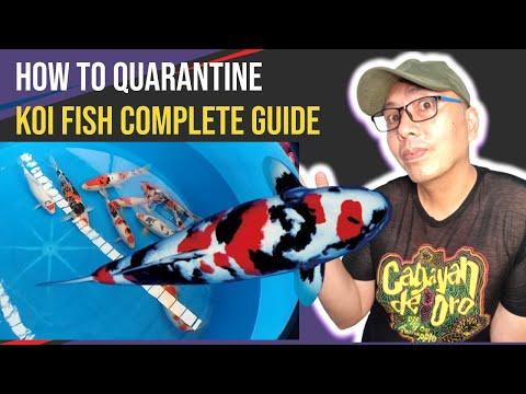 How To Quarantine Koi Fish 2020