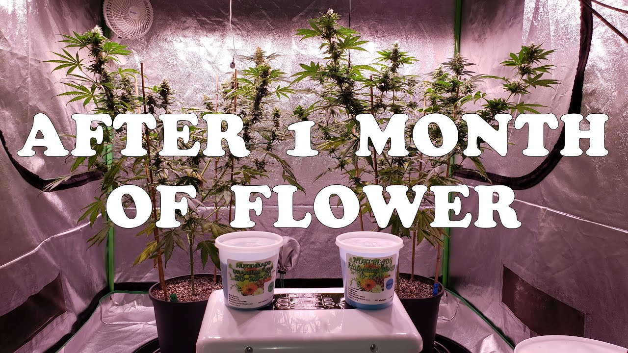 Growing With Nukeheads ~ Northern Lights & Willy's Wonder After The 1st Month Of Flower
