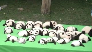 23 Adorable Baby Pandas Making Their Public Debut Will Melt Your Heart thumbnail