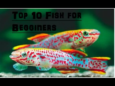 Top 10 Freshwater Fish For Beginners.