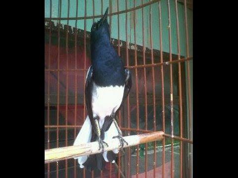 Burung Kacer Gacor Ngotot Buka Ekor Youtube