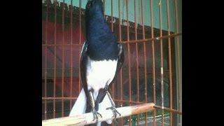 Video Burung Kacer Gacor Ngotot Buka Ekor download MP3, 3GP, MP4, WEBM, AVI, FLV Juli 2018