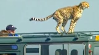 Cheetahs meet film crew - BBC wildlife
