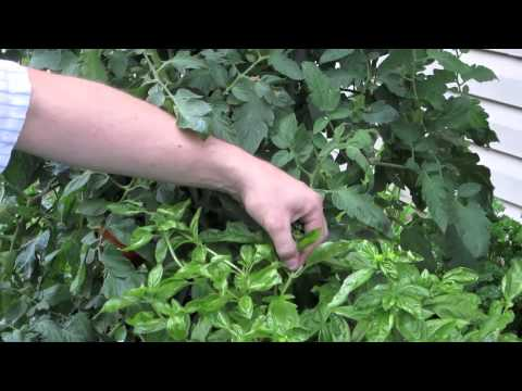 growing basil how to prune a flowering basil plant youtube. Black Bedroom Furniture Sets. Home Design Ideas