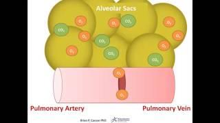 Alveolar Exchange Animation - Respiratory Physiology