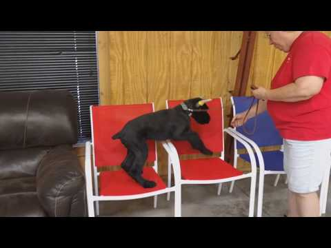 """Giant Schnauzer Puppy """"Kramer"""" 15 Weeks Old Early Training & Confidence Building"""