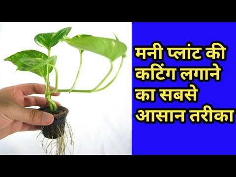 How to grow money plant | Grow from cuttings with full update