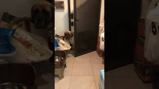 Mochi the scaredy cat: 150-lb Mastiff Defeated by Screen Door