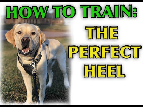 Dog Training Tutorial: Perfect Heeling!