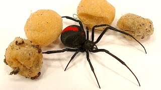 4 Deadly Spider Egg Sacs Whats Inside Is Amazing & SCARY thumbnail