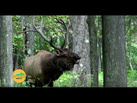Elk Viewing in Pennsylvania
