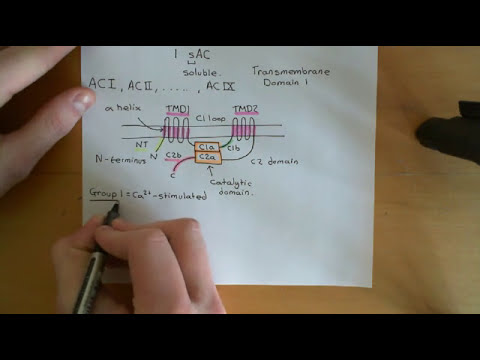 Cyclic AMP signalling Part 2