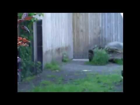 Buru babirusa @ Zoo Antwerp