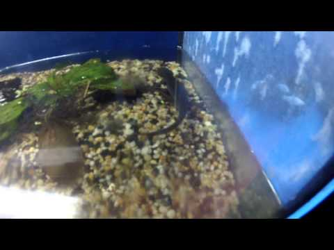 A Mexican Walking Fish Turning Into A Salomanda