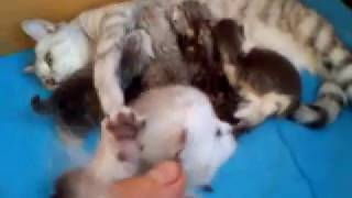 шотланские вислаухие котята  стерлитамак питомник николас и ларсон.Kittens.