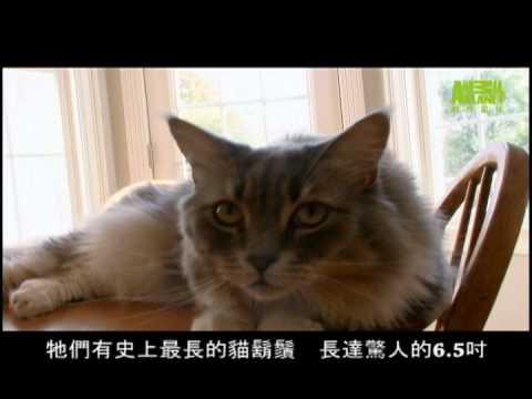 貓咪101---緬因貓
