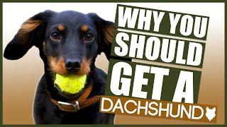 DACHSHUND! 5 Reasons Why YOU SHOULD GET a Dachshund Puppy!