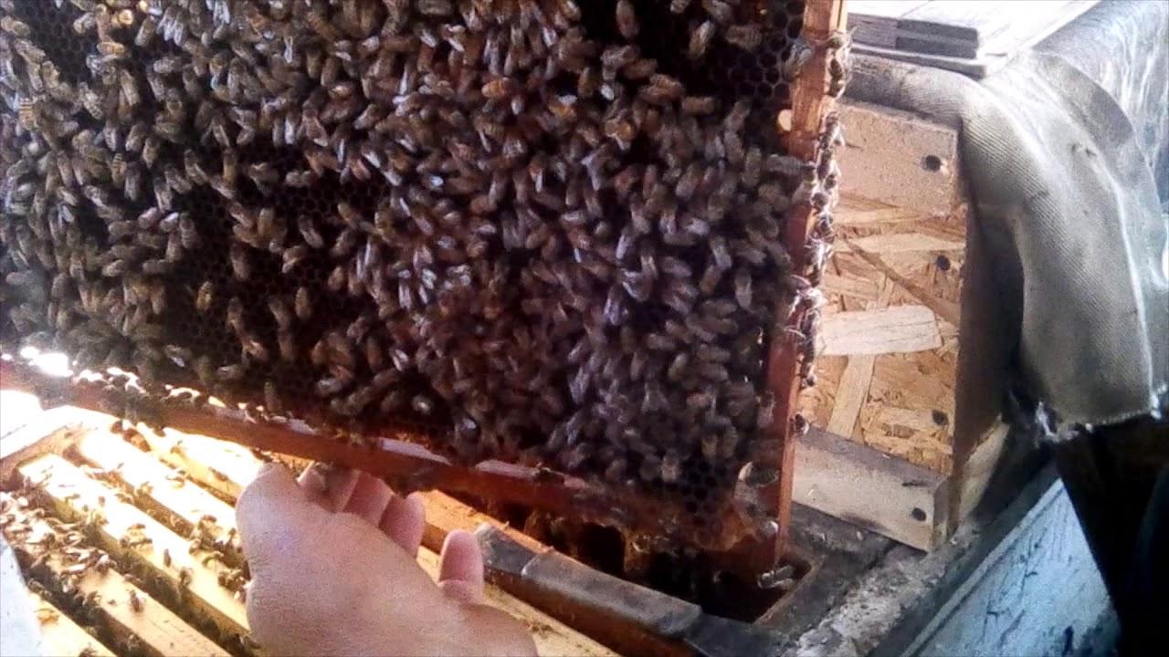 Расплода практически нет, пчелосемья готова к зимовке.
