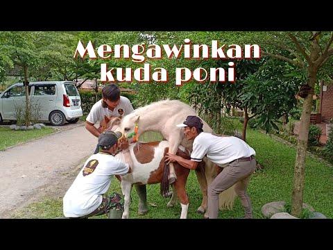 Lihat Cara Mengawinkan Kuda Poni Di Santosa Stable Semarang
