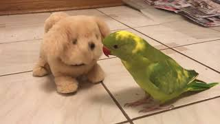 Cute Talking Parrot Plays With His Toy Dog..