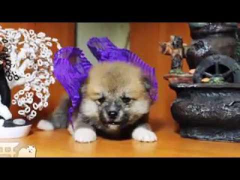 Щенки Акита Ину ! - YouTube