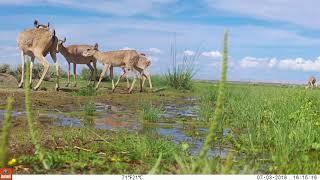 Saiga antelope in Mongolia