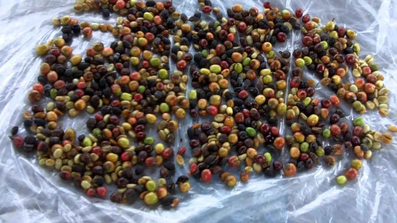 Arabica VS Robusta coffee varieties - YouTube